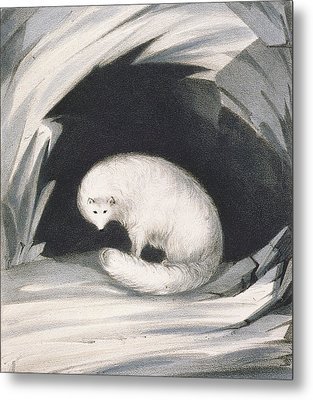 Arctic Fox, From Narrative Of A Second Metal Print