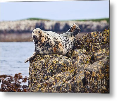 Atlantic Grey Seal Halichoerus Grypus Metal Print by Liz Leyden