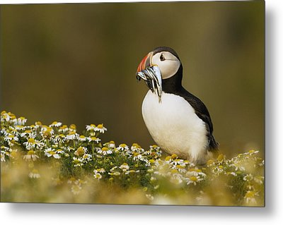 Atlantic Puffin Carrying Fish Skomer Metal Print by Sebastian Kennerknecht