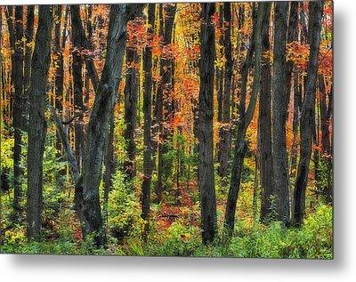 Autumn Sugar Maple, Yellow Birch And Metal Print by Thomas Kitchin & Victoria Hurst