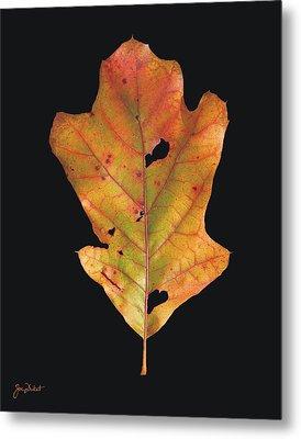 Autumn White Oak Leaf Metal Print