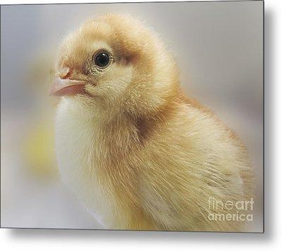 Baby Chicken Metal Print by Darleen Stry