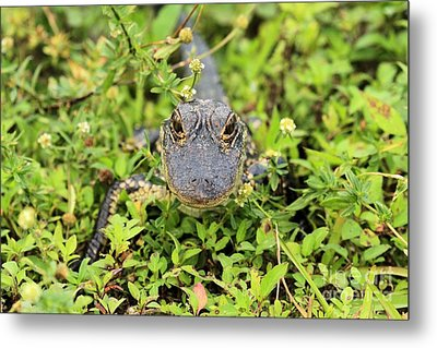 Baby Gator Metal Print by Adam Jewell