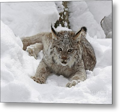 Baby Lynx On A Lazy Winter Day Metal Print by Inspired Nature Photography Fine Art Photography