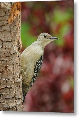 Baby Red Bellied Woodpecker Metal Print by Lara Ellis