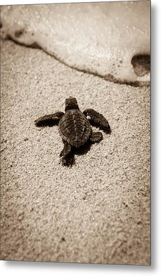 Metal Print featuring the photograph Baby Sea Turtle by Sebastian Musial