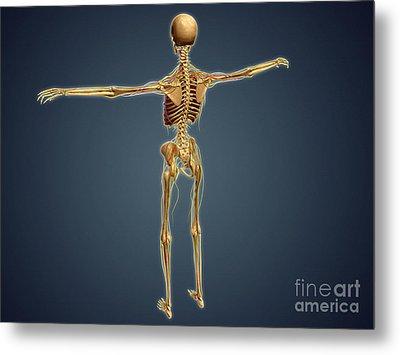 Back View Of Human Skeleton Metal Print by Stocktrek Images
