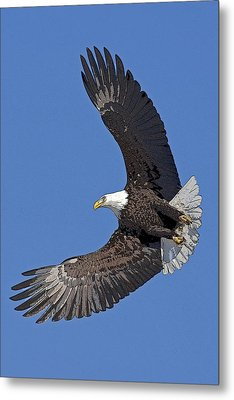 Bald Eagle In Flight- Abstract Metal Print