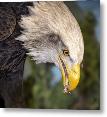 Bald Eagle Snacks Metal Print by Bill Tiepelman