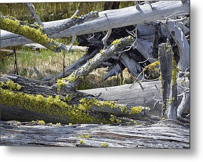 Bare Logs And Lichen In Yellowstone Metal Print by Bruce Gourley