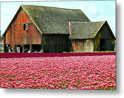 Barn And Tulips Metal Print by Annie Pflueger