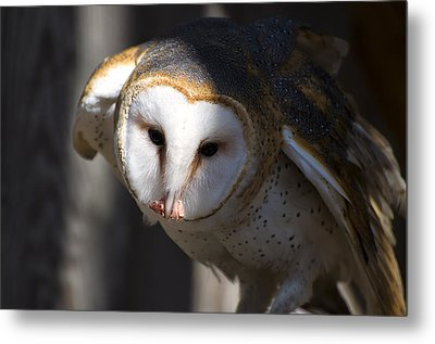 Barn Owl Eating 2 Metal Print by Chris Flees