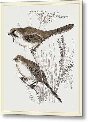 Bearded Titmice Metal Print by Litz Collection
