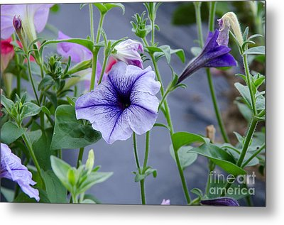 Beautiful Petunias Metal Print by Wilma  Birdwell