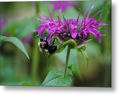 Bee On Bee Balm Metal Print by Robert  Moss