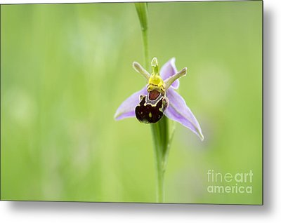 Bee Orchid Metal Print by Tim Gainey
