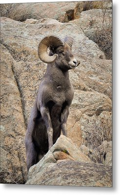 Metal Print featuring the photograph Bighorn Big Boy by Kevin Munro
