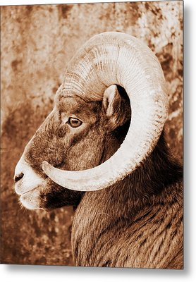 Bighorn Sheep Profile Metal Print by Ramona Johnston