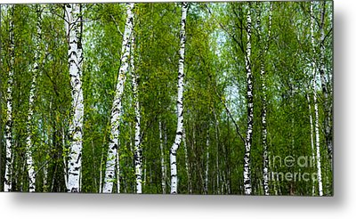 Birch Forest Metal Print by Hannes Cmarits