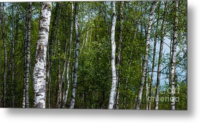 Birch Forest In The Summer Metal Print by Hannes Cmarits