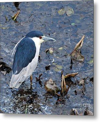 Bird - Black Crowned Night Heron Metal Print by Paul Ward