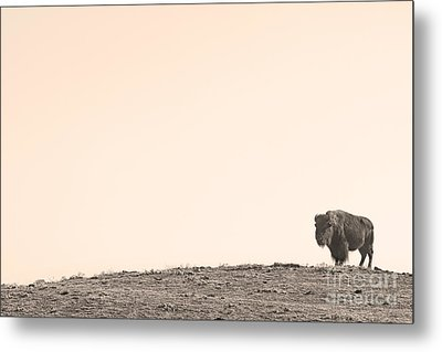 Bison Hill  Metal Print by James BO  Insogna