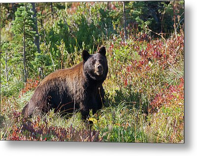 Black Bear, Autumn Berry Country Metal Print