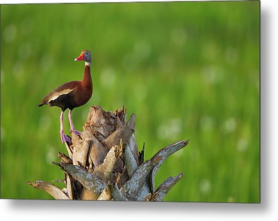 Black-bellied Whistling Duck On Cabbage Metal Print