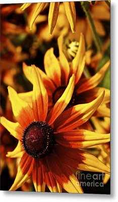 Metal Print featuring the photograph Black Eyed Susan by Linda Bianic