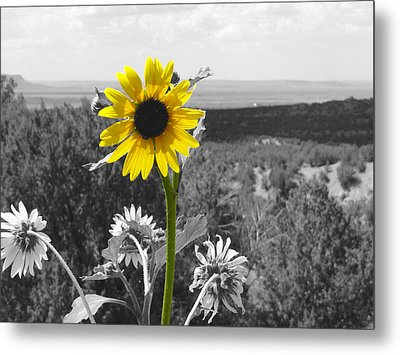 Black-eyed Susan Metal Print by Tom DiFrancesca