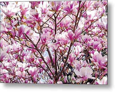 Blooming Magnolia Metal Print by Elena Elisseeva