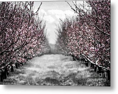 Blooming Peach Orchard Metal Print