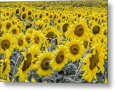 Blossoms Only Sunflowers Metal Print by Thomas Pettengill