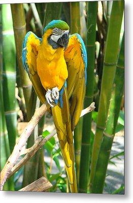 Blue And Gold Macaw Metal Print by Phyllis Beiser