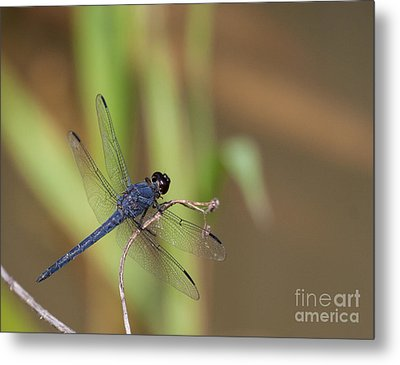 Blue Dragonfly Metal Print by Dale Nelson