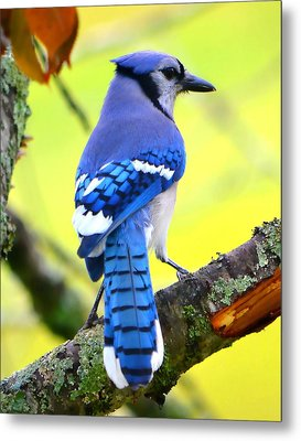 Metal Print featuring the photograph Blue Jay by Deena Stoddard