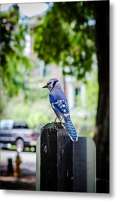 Metal Print featuring the photograph Blue Jay by Sennie Pierson