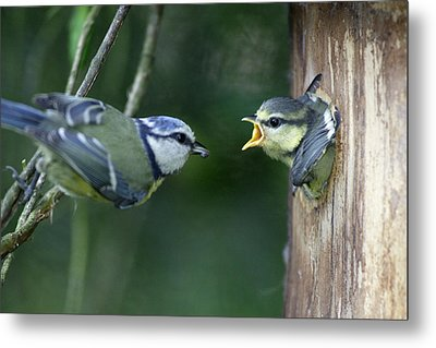 Blue Tit And Chick Metal Print by Duncan Usher