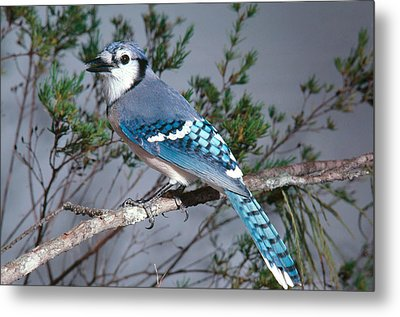 Bluejay Calling Metal Print by John S. Dunning