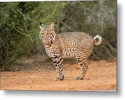 Bobcat (lynx Rufus Metal Print