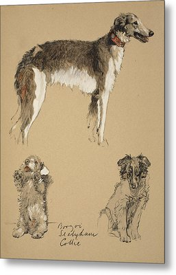 Borzoi, Sealyham And Collie, 1930 Metal Print by Cecil Charles Windsor Aldin