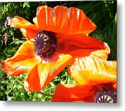 Metal Print featuring the photograph Bright Orange Poppy by Kristine Bogdanovich