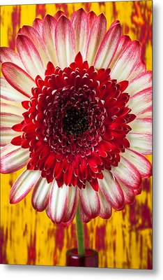 Bright Red And White Mum Metal Print by Garry Gay