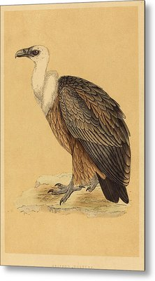 British 19th Century, Griffon Vulture Metal Print by Quint Lox