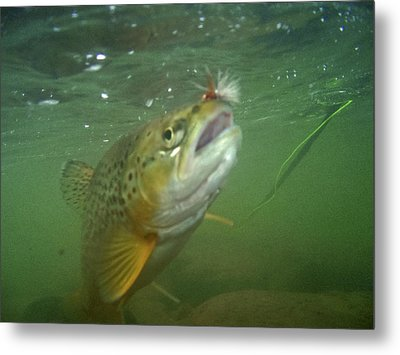 Brow Trout In Gallatin River Metal Print by Jason Standiford