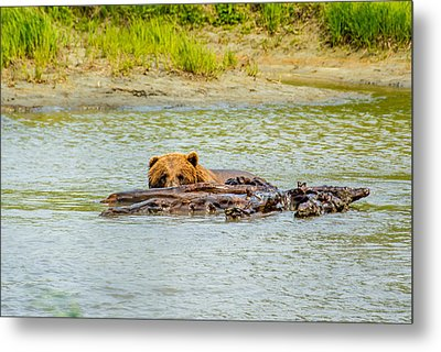 Brown Bear In Alaska Metal Print