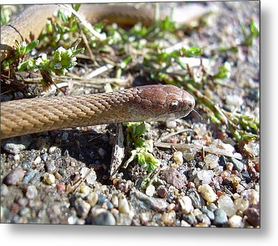 Brown Snake Metal Print