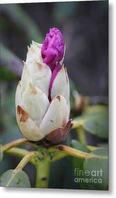 Budding Rhododendron Metal Print