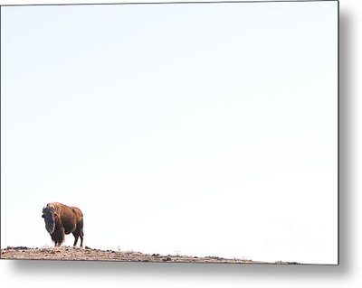 Buffalo Country Metal Print by James BO  Insogna