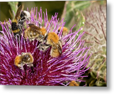 Bumblebees Feeding On Thistle Flower Metal Print by Bob Gibbons